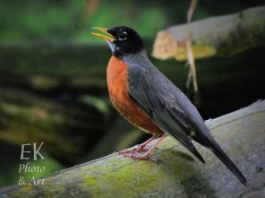 American Robin - Wildlife Photography