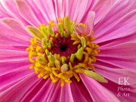Pink and Yellow Flower - Macro Photography
