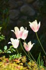 These tulips seemed to hold the light like they were cups holding water. Photo By: Elizabeth Preston
