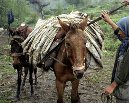 Image result for Iran, horses and mules, photos