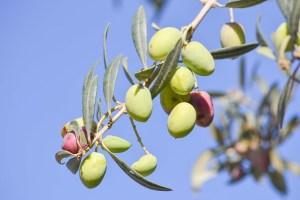 L'olivier, la paix que D.ieu veut donner au monde