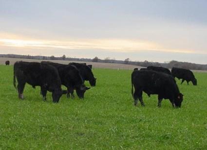 grass fed cows.JPG.jpeg