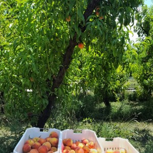 Filling peach totes under the trees