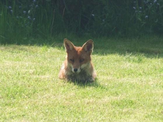 the fox is taking it easy