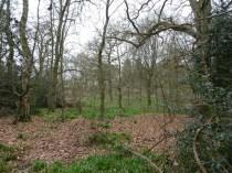 bluebell leaves