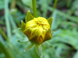 Coreopsis bud