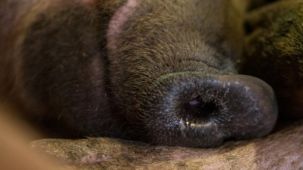 Zelai's Snout, Labets