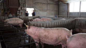 Julian and Kate talk about pig farming, Lasse