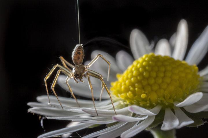 Păianjenii zboară folosind electricitatea