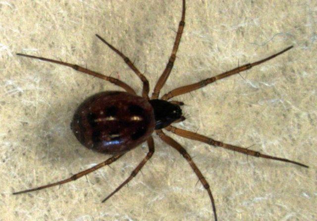 păianjenii