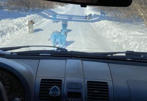Câini cu blană albastră în Rusia. Care este cauza?
