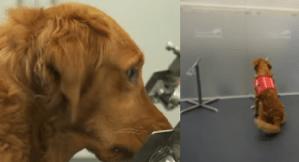 Câinii ar putea preveni răspândirea Covid (VIDEO)