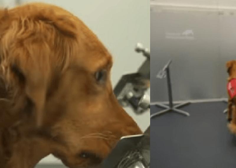 câinii detectează covid