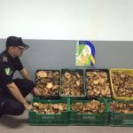 Abusive mushrooming results 25 complaints and forfeiture 300 kilos at the start of the season
