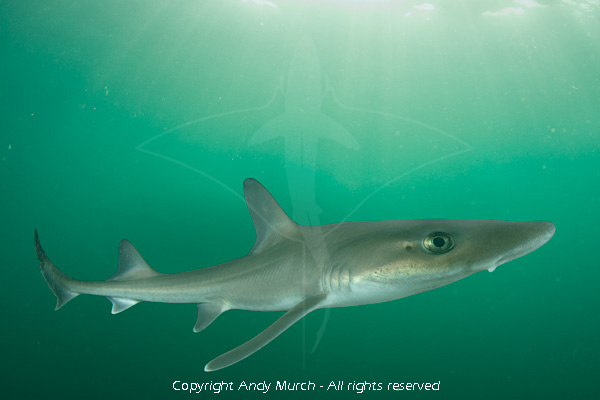 dusky smoothhound shark aka smooth dogfish