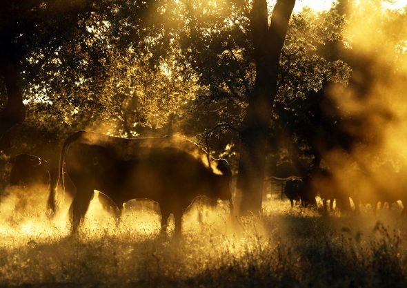 Toros de la raza autóctona avileña negra. Foto: © Gema Arrugaeta.