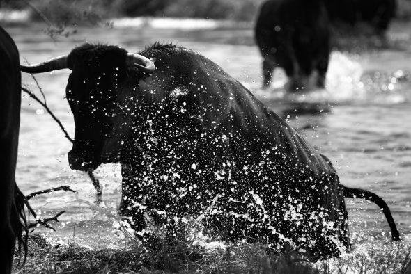 Vaca de la raza avileña negra cruzando el río Tiétar. Foto: © Gema Arrugaeta.