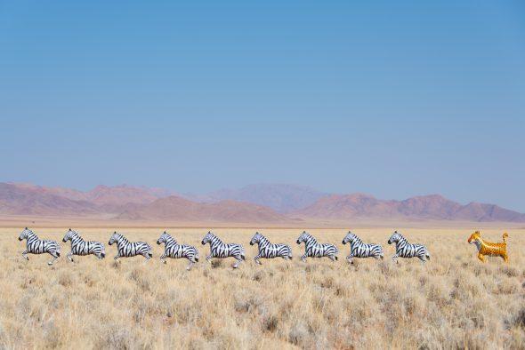 Fotografía de lepardo persiguiendo cebras. Foto: Gray Malin.