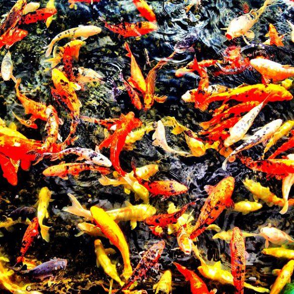 Peces rojos y amarillos. Foto: Manuel Cuéllar.