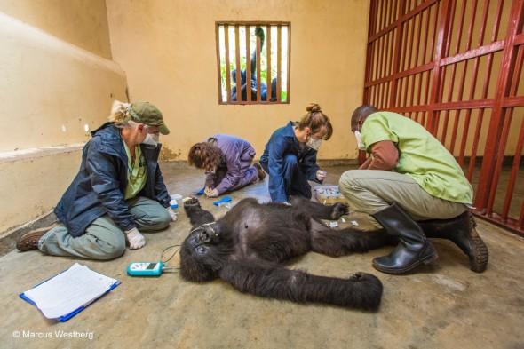 79. Marcus Westberg, Gorilla care