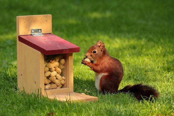 Una ardilla junto a su casita llena de cacahuetes. Foto: Pixabay.