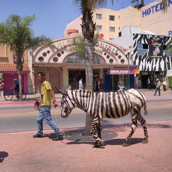 Un hombre pasea a su burro-cebra por la parte baja de Tijuana, México. Foto: Ana Nance.