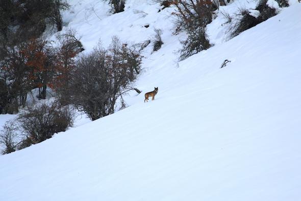 Un lobo en la película Cantábrico. Foto: Bernardo Canal.