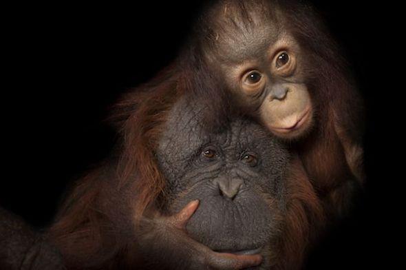 Un cachorro de orangután de Borneo llamado Aurora con su madre adoptiva, Cheyenne, en el zoo de Houston, (Texas, Estados Unidos). Foto: Joel Sartore.