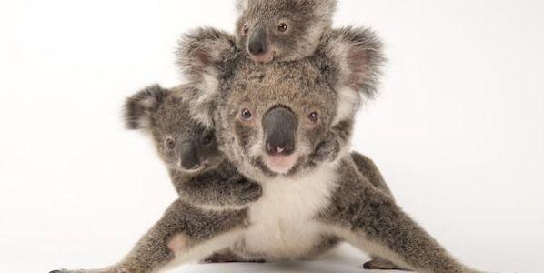 Esta mamá koala se llama Augustine. Con ella posan sus cachorros Gus y Rupert. La foto fue tomada en el Australia Zoo Wildlife Hospital. Foto: Joel Sartore.