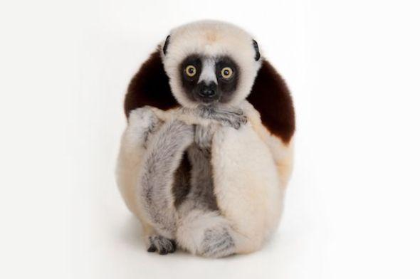 El lemur sifaca de Coquerel es uno de los animales en peligro de extinción fotografiados por Joel Sartore en el Arca de Fotos.
