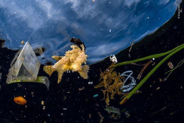 Este pez de los Sagarzos no podía esconderse entre la basura. Las escasas frondas de algas Sargassum quedaban muy lejos de las balsas flotantes de algas marinas que normalmente protegen a este pez sapo y a muchas otras especies. © Greg Lecoeur, Francia. - Wildlife Photographer of the Year.
