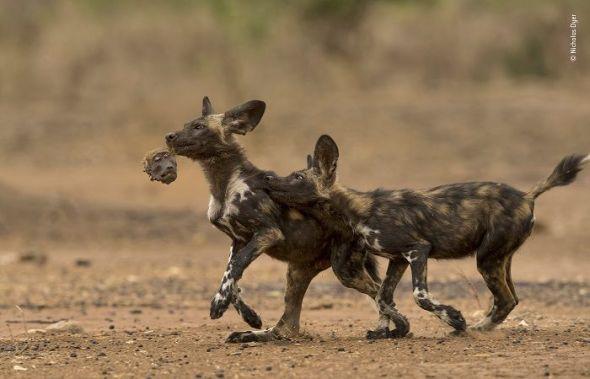 'Jugando con la cabeza'. Fotografía: Nicholas Dyer-Wildlife Photographer of the Year, Reino Unido. Categoría: Comportamiento de Mamíferos. Un par de cachorros de perros salvajes africanos juegan un juego macabro con la cabeza de un babuino chacma: los restos de su desayuno.