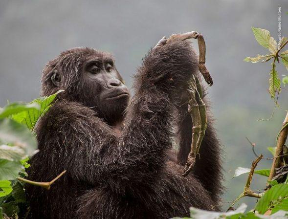 Kuhirwa, una joven hembra de gorila de montaña, no se da por vencida con su bebé muerto. Al principio abrazaba y acicalaba al pequeño cadáver. Semanas más tarde, comenzó a comer lo que quedaba de él. © Ricardo Núñez Montero - Wildlife Photographer of the Year