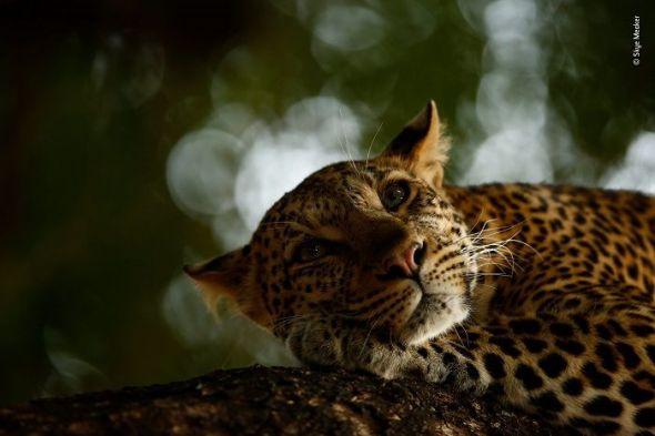 Fotografía ganadora en la sección juvenil. Una Leoparda relajada, obra de Skye Meaker, de dieciséis años de edad. Retrata a una hembra de leopardo despertándose en la Reserva de caza Mashatu, en Botsuana. Skye ha querido ser fotógrafo de naturaleza desde que recibió su primera cámara de bolsillo cuando tenía siete años. © Skye Meaker - Wildlife Photographer of the Year.