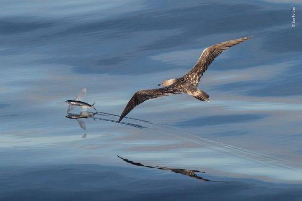 Un piquero persigue a un pez volador. Siguiendo al ave con el objetivo de su cámara, la fotógrafa tuvo la suerte de que en ese momento saltase el pez que finalmente logró escapar. © Sue Forbes - Wildlife Photographer of the Year.