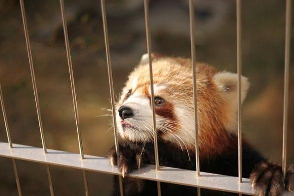 Un panda rojo en un zoo. Foto: Pixabay.