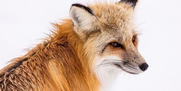 Un maravilloso ejemplar de zorro rojo. Foster ha tratado de vivir como uno de ellos. Foto: Pixabay.