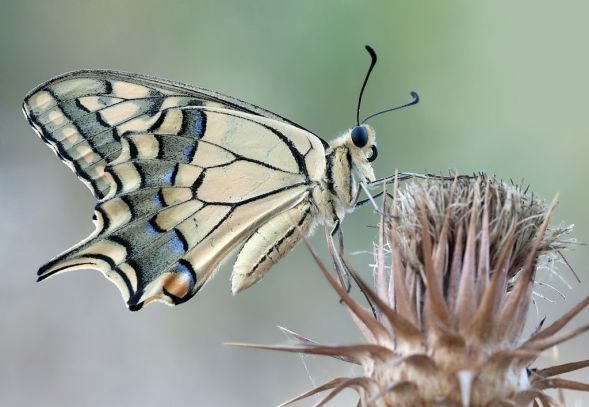 Un ejemplar adulto de Papilio machaon.