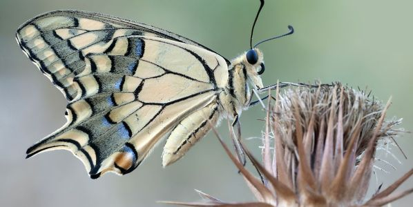 Un ejemplar adulto de Papilio machaon.