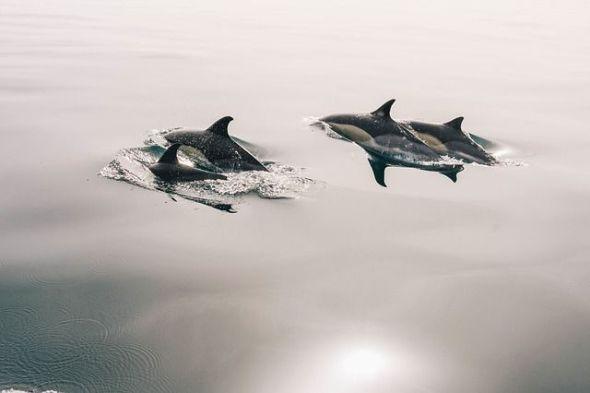 Avistamiento de delfines en mar abierto. Foto: Pixabay.