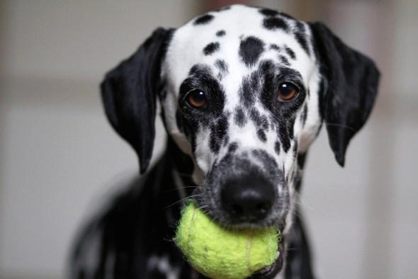 Dálmata con su pelota de tenis.