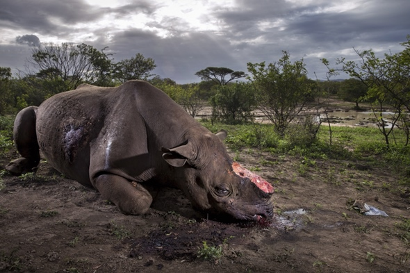 Monumento a una especie. Foto de Brent Stirton. Un rinoceronte negro asesinado por cazadores furtivos para cortarle los cuernos en Sudáfrica. (Foto de Brent Stirton/Getty Images para National Geographic Magazine.)