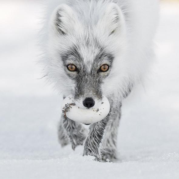 Tesoro Ártico. Foto de Sergey Gorshkov. Rusia. Isla de Wrangel. Un zorro ártico con un huevo en las fauces.