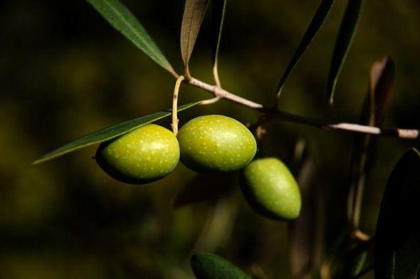 Aceitunas en el olivo. Foto: Pixabay.