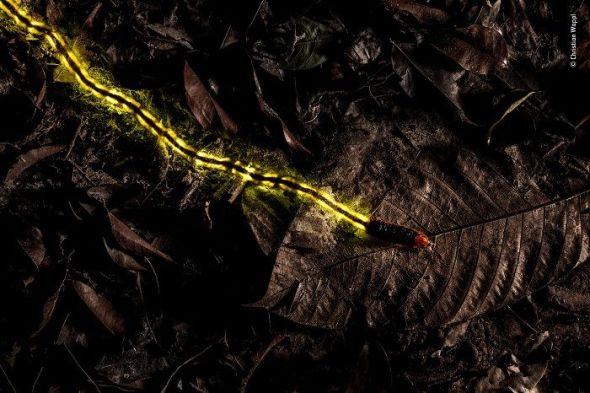 En la hojarasca del Jardín Botánico de Tailandia la vida nocturna brillaba. La estrella del espectáculo era una gran larva de luciérnaga de unos 8 centímetros de largo que emitía un brillo continuo desde los cuatro órganos lumínicos de su parte posterior. © Christian Wappl. Austria. - Wildlife Photographer of the Year.