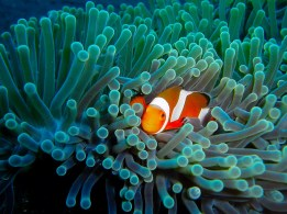 clownsfish