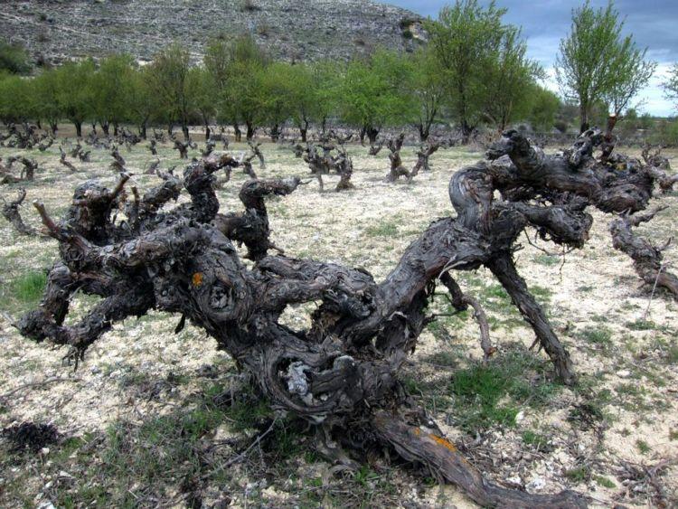 Majuelos en Ribera del Duero (foto www.josepastorselecions.com)