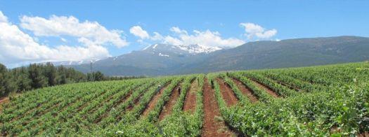 Viñedos de Bodegas Muñana y Sierra Nevada
