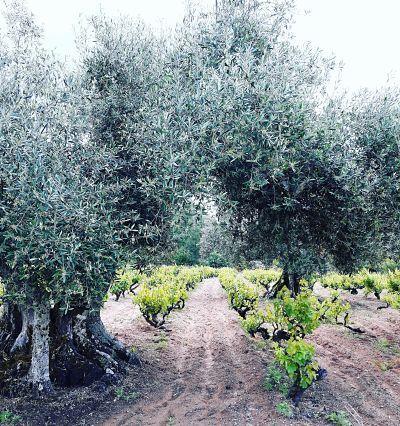Entre viñas y olivos - Rvfian_opt-1