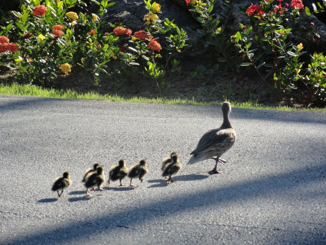 Patitos cruzando - Punta Cana